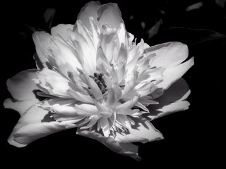 Fotobehang Flowers on a black and white photo