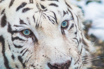 Wall Murals Panther White bengal tiger with beautiful blue eyes close up detail. Big cat portrait.