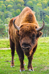 Papiers peints Bison Big male European bison or Aurochs standing in the Carpathian Mountains, Romania, Eastern Europe. Complete body view with fur, head, hooves, horns and muscles details of a wisent.
