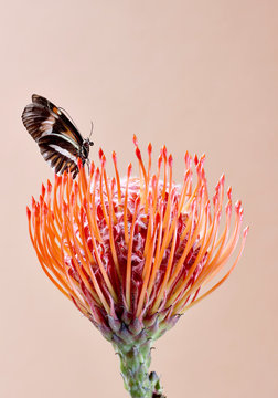 Close up of butterfly pollinating flower against beige background