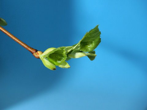Blossoming leaves on a tree branch. It's spring.