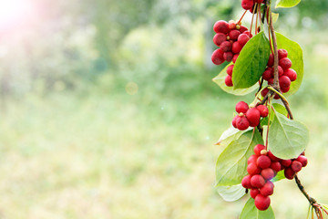 Ripe fruits of red schizandra with green leaves hang in sunny rays in garden Fototapete