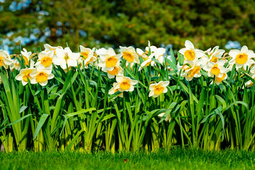 Photo sur Plexiglas Narcisse Panoramic view on White spring narcissus flowers