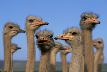 Flock of domestic ostrich against blue sky