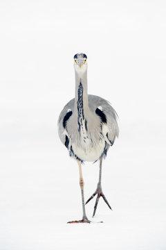 Grey heron against white background