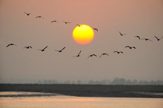 Flock of dark bellied brent geese flying during sunset