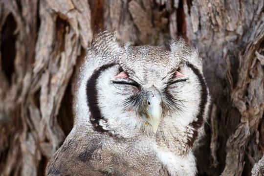 Close up of verreaux's eagle owl