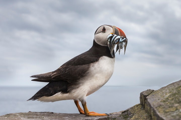Puffin with sand eels in beak against cloudy sky