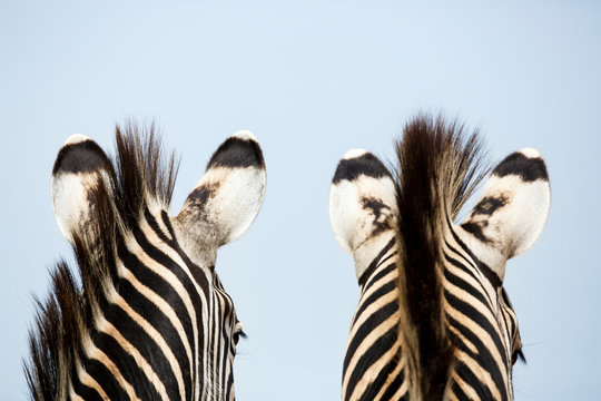 Close up of two burchell's zebra standing at Rietvlei Nature Reserve