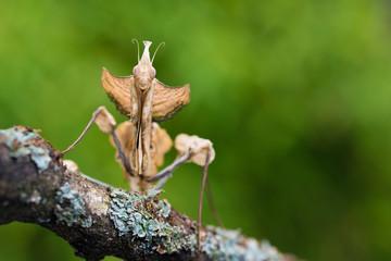 Close up of devil's flower mantis on branch