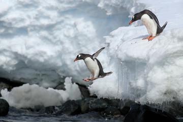 Gentoo penguins jumping off iceberg in Antarctica