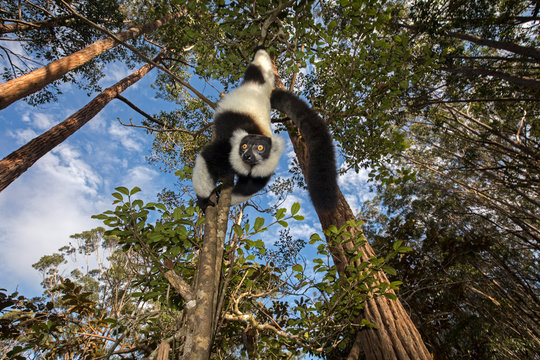 Black and white ruffed lemur hanging on branch