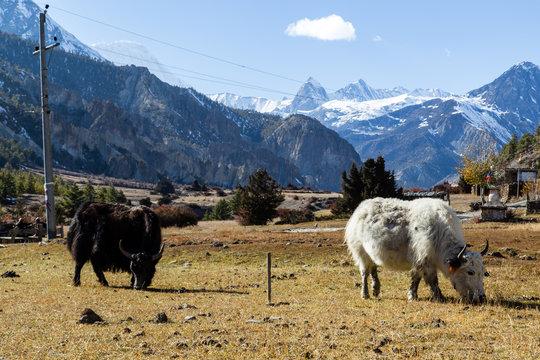 Grazing yaks on the Annapurna Circuit in Nepal