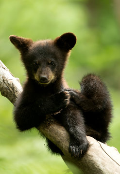 American black bear cub resting on branch