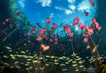 Banded tetras swim between the stalks of water lilies in a cenote