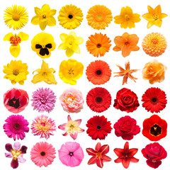 Collection head multicolored flowers of daisy, gerbera, narcissus, tigridia, chrysanthemum, pansies, lily, rose, dahlia isolated on white background. Delicate composition. Flat lay, top view