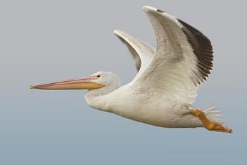 White Pelican (Pelecanus erythrohynchos) Fotoväggar