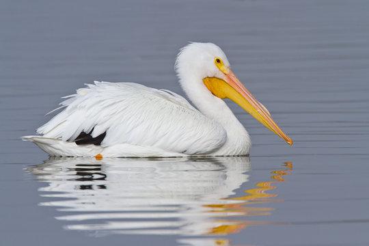 White Pelican (Pelecanus erythrohynchos)
