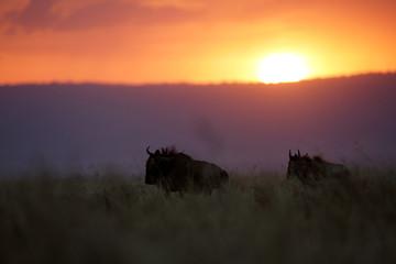 Silhouette of wildebeest during dusk, Masai Mara, kenya Wall mural