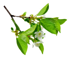 Cherry blossoms. Spring. Fresh foliage and white flowers of cherry. Spring Garden in detail .Izolirovano without shadows.