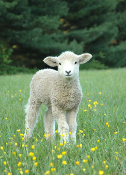 LEICESTER LONGWOOL SHEEP Lamb