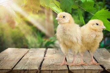 Cute little chicken isolated on white