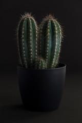 Cactus plant in dark grey pot
