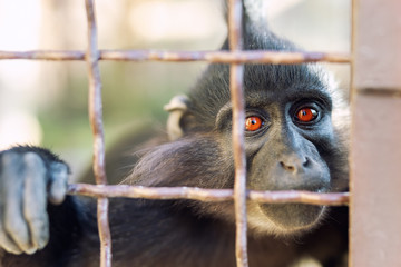 Portrait of sad wild mokey hopelessly looking through metal cage. Caged ape with despair depressed expression. Stop animal abuse concept