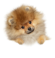 Wall Mural - Pomeranian Spitz puppy on banner