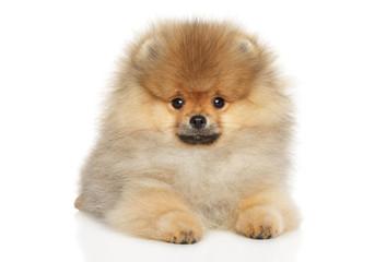 Wall Mural - Pomeranian Spitz puppy lying