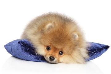 Wall Mural - Pomeranian Spitz puppy on a blue pillow