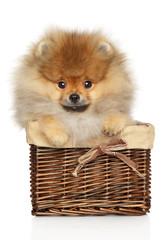 Wall Mural - Pomeranian spitz in basket on white background