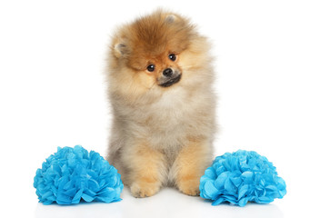 Wall Mural - Pomeranian Spitz puppy with two large blue flowers