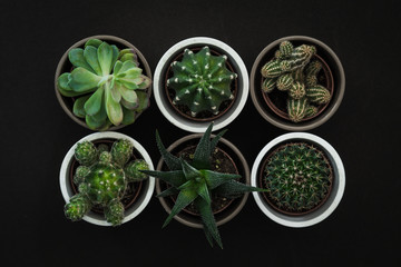 Top down view of six small cacti and succulent plants in pots