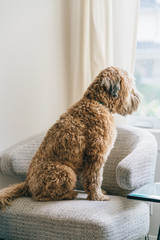 Soft coated wheaten terrier sitting on armchair and looking through window