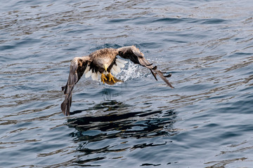 White-tailed eagle hunting fish