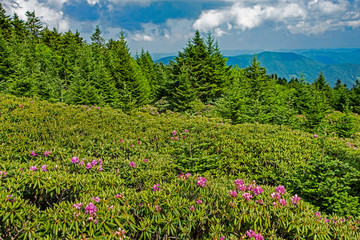 Purple Rhododendron blooming on the top of Roan Mountain.