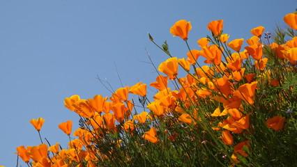 Fotobehang Poppy Orange poppies under blue sky