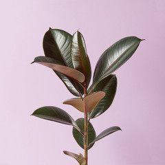 Ficus plant isolated on a pink background