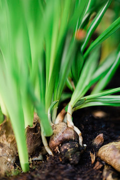 Sprouts coming out of narcissus bulb planted in the soil