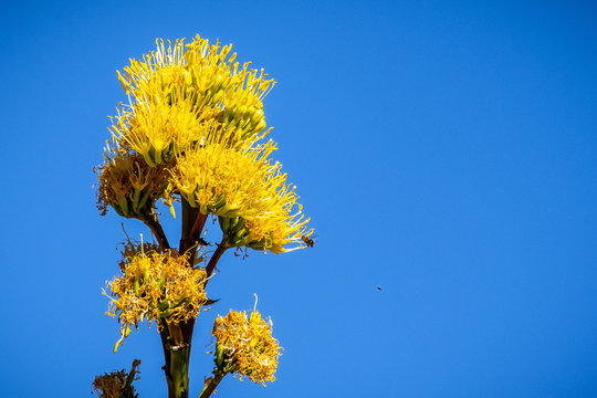 Blooming Century plant, Maguey, or American aloe (Agave americana); blue sky background, California