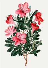 Red Chinese azalea