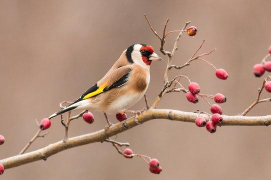 Goldfinch sitting on stick