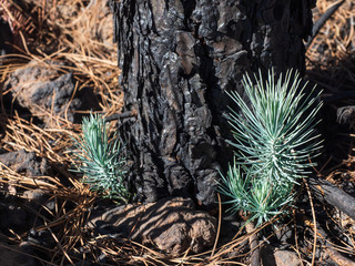 New life after forest fire - pine survives - natural wonder
