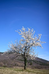 Blossom cherry tree in the nature