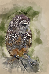 Wall Mural - Watercolor painting of Timid chaco owl bird of prey during falconry display