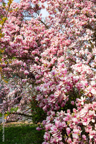 Old Magnolia Soulangeana Tree In Europe In Full Bloom Stock Photo