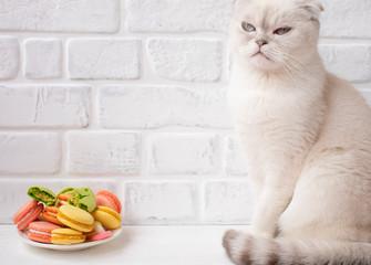Enjoyment. Scottish Fold cat impudent. Cat sleep. Funny white cat and tasty dessert. Cat with macaroons