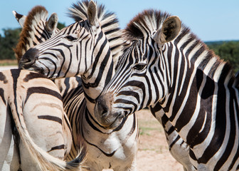 Plains Zebra (Equus quagga) animals standing close together close up portrait of three animals with focus on one in foreground. Wall mural