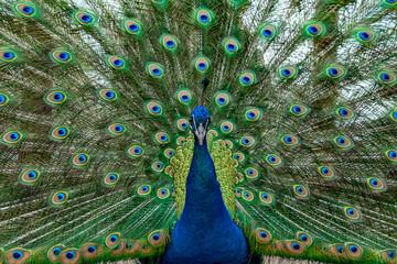 Foto op Aluminium Pauw peacock bird wonderful feather open wheel portrait